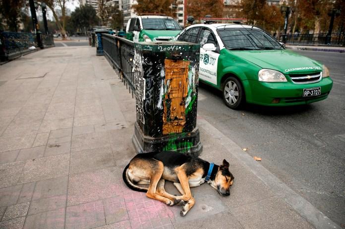 Los perros son los únicos que tienen permitido estar en las calles en Chile, como consecuencia de las restricciones impuestas por el coronavirus