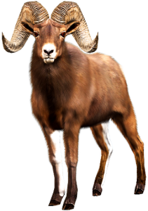 bhornsheep_buck_idle