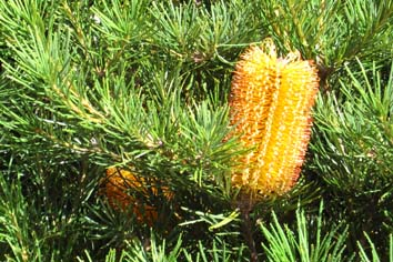 Banksia spinulosa in flower