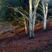 Beech trees in Findhorn gorge