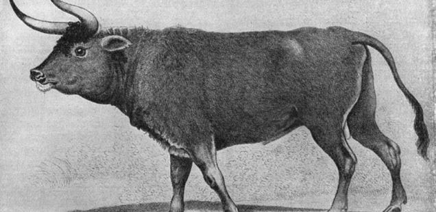 Extinct Wild Cattle Aurochs Survived until 13th-14th Century in Today's Bulgaria, Bones from Medieval Rusocastro Fortress Show