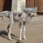 White Two-Humped Baby Camel Born in Zoo in Bulgaria's Black Sea City Varna