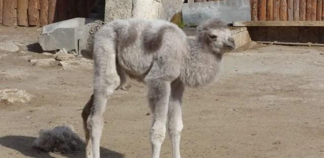 White Two-Humped Baby Camel Born in Zoo in Bulgaria's Black Sea City Varna
