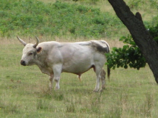 Chillingham_Bull. Thanks to Sally Holmes