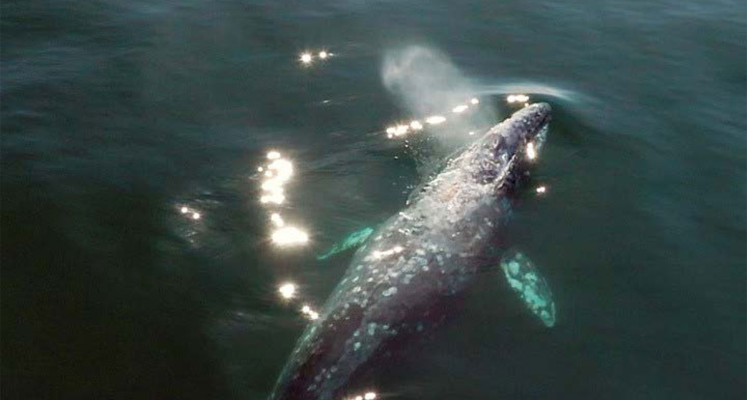 Grey Whale Featured Image