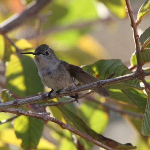 Sanctuary Hummingbird