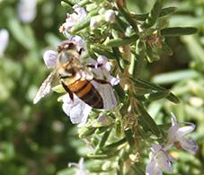 Apis Mellifica, Honey Bee