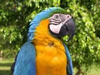 Un ara macao, une espèce de perroquet d'Amérique centrale.