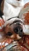 Erica Chang's beagle, Barney