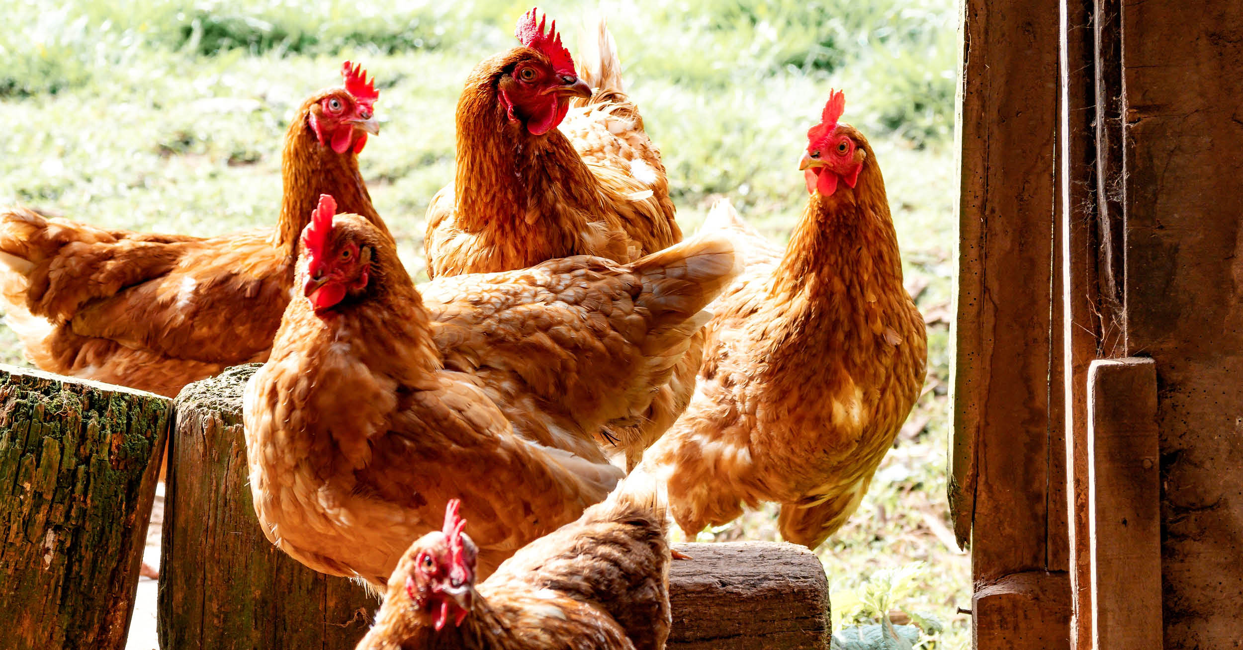 Tour D Coup chickens