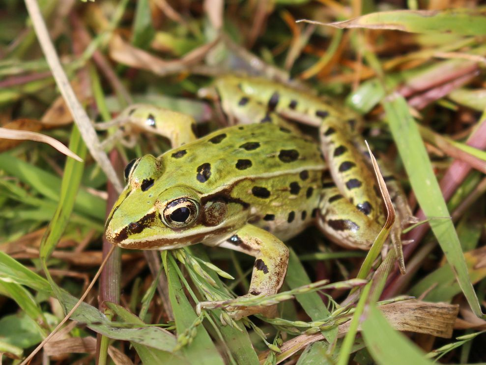 Leopard Frog New York 01 85162 990x742