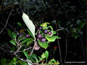 2014 ArcheWild - Photinia floribunda