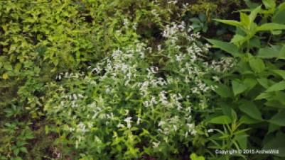 2015 ArcheWild - Pycnanthemum muticum 064a 20150703_185620-004