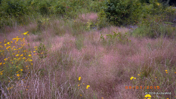 2015 ArcheWild – Eragrostis Spectabilis In Situ 001