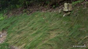 2015 ArcheWild - Carex appalachica 069a