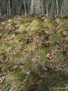 2016 ArcheWild - Carex appalachica on slope 070c