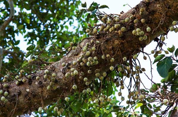 Fig Tree Fruits