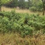 ArcheWild - Juniperus communis var depressa (4 of 15)