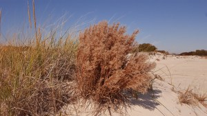 Species Spotlight – Schizachyrium Littorale