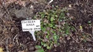 Species Spotlight – Packera Aurea Var. Gracilis