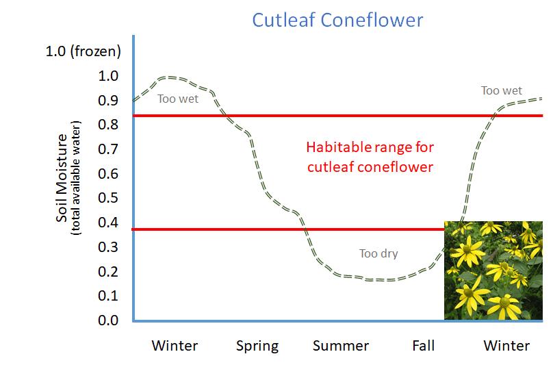 cutleaf coneflower curve