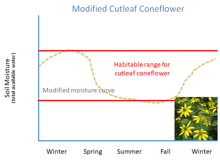 Cutleaf coneflower survives in modified rain garden