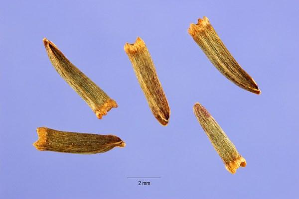 rudbeckia laciniata seed