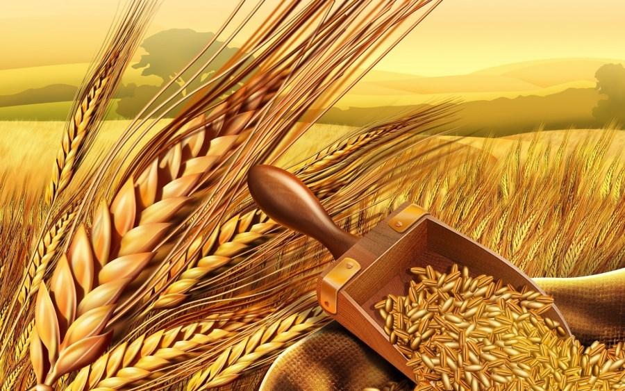 поле пшеница хлеб