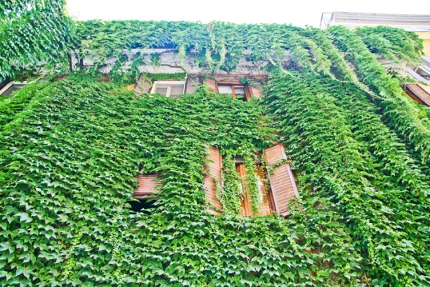 Ivy on a Rome street.Copyright Ruth and Rick Meghiddo, 2010. All Rights Reserved.