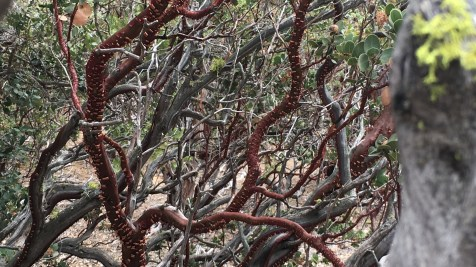 Manzanita Tree. Ruth and Rick Meghiddo. All Rights Reserved