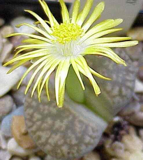 Fully Opened Flower Lithops Gesineae
