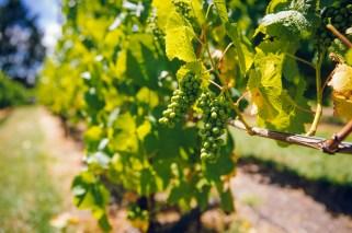 The vineyard at MONA