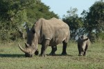 Rhino Conservation Update: Ensuring the long-term survival of rhinos