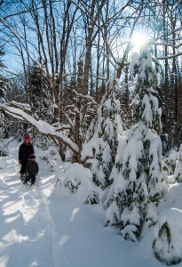 """The """"dinosaurs"""". The evergreens have been heavy laden with snow for over a month."""