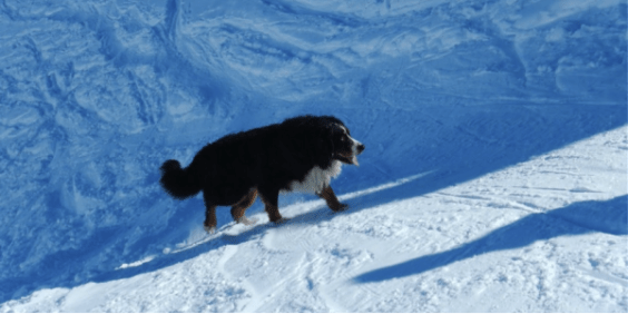 Snowshoeing with my Bernese Mountain Dog, Maximus.