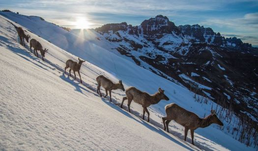 A photo of elk migration, part of an exhibit at the Peabody Museum. Joe Riis