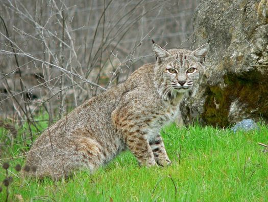 Bobcat (contributed photo)