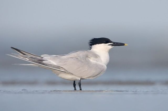 A Sandwich tern (Contributed photo)