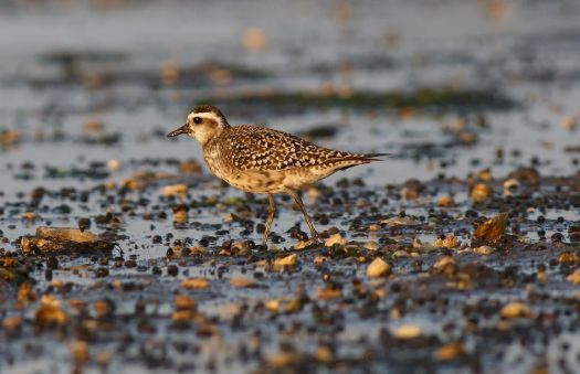 Julian Hough A molting adult American golden-plover