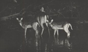 Doe with twin fawns