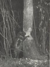 Night Beaver
