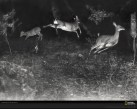 deer-leaping-shiras-627747-xl