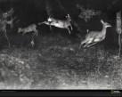 deer-leaping-shiras-627747-xl