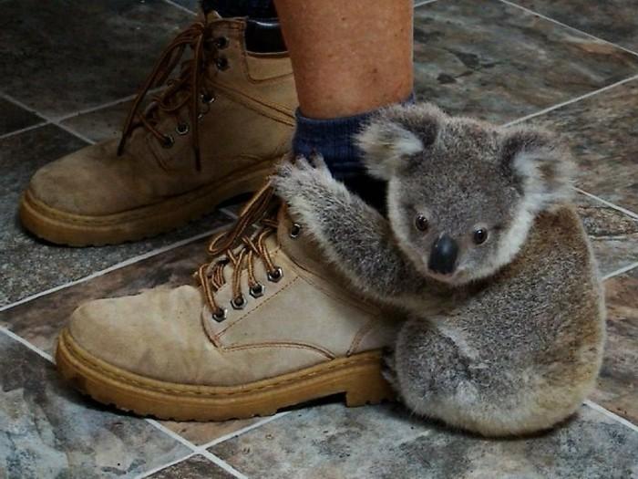 Les Meilleures Photos Et Vidos De Bb Koala Archzinefr