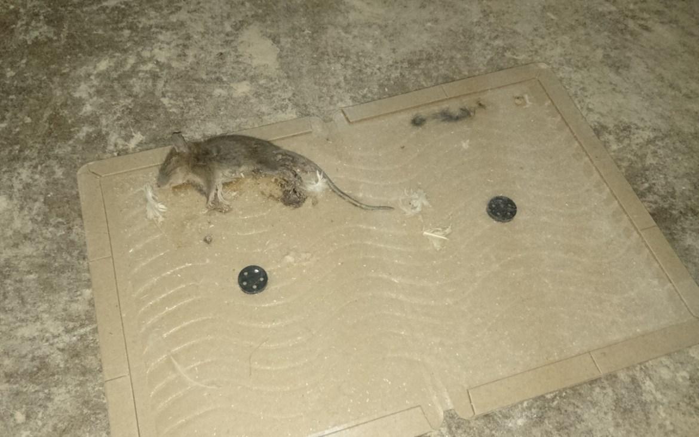 生きたまま 中国 ネズミ