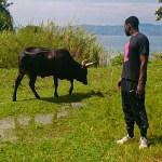 a wild bull in rwanda