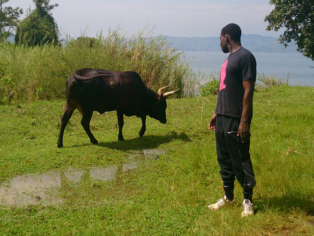 wild cow in Rwanda