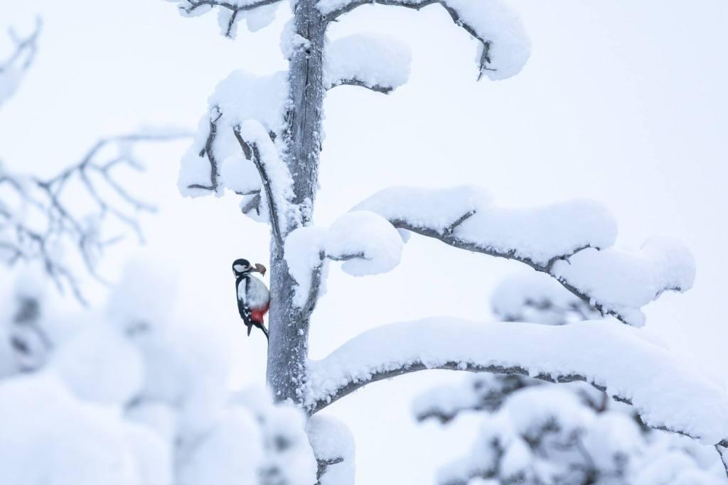 Käpytikka Talvi