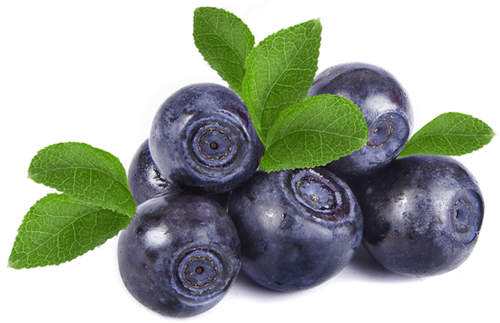 Wild blueberries (also called bilberries) grow in the Arctic nature of Finland