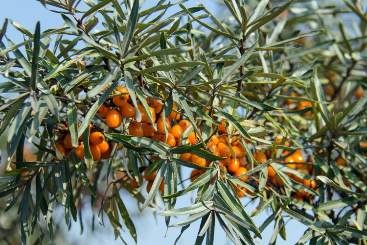 In this blog post, we tell all you need to know about this delicious superfood of nature: the origin of sea buckthorn, how they look and taste like, their nutritional characteristics and health benefits, how to use sea buckthorn and where to buy them.